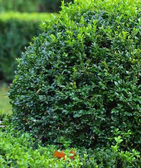 DeRoman Landscaping LLC Shrubs & Hedges